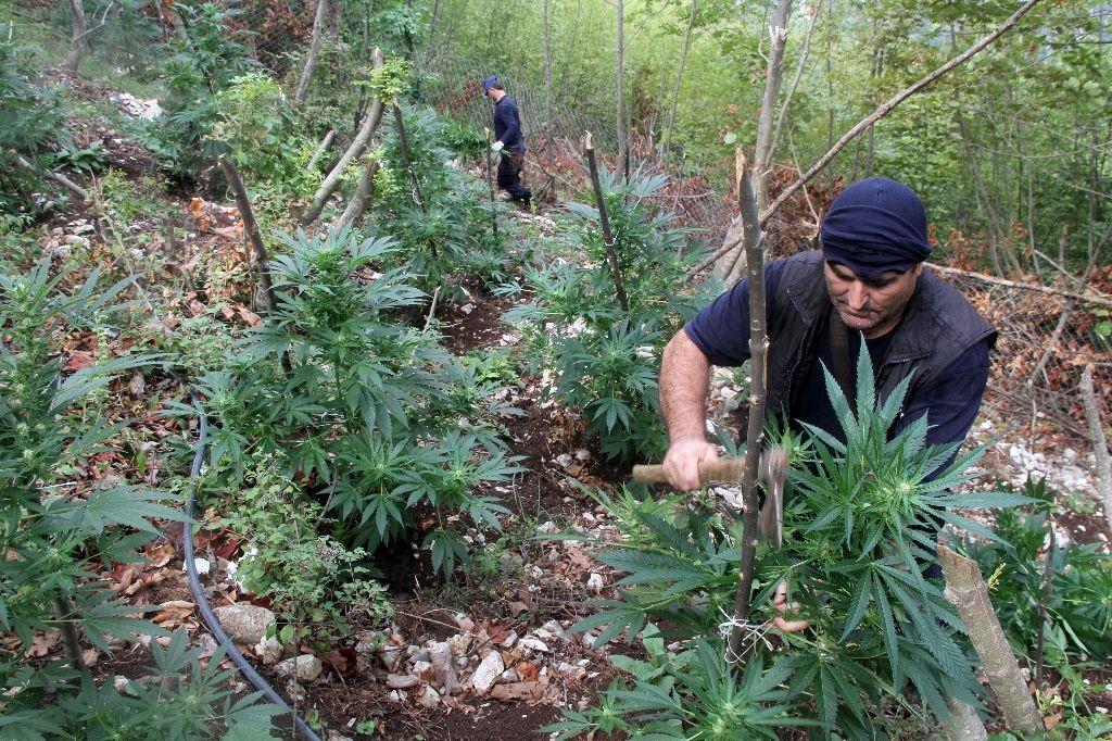Albania destroys marijuana fields to clean up its image